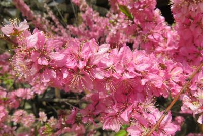 2018春、京都の花の名所巡り(1/15):3月31日(1):北野天満宮(1):名古屋からバスで京都へ、咲き残りの梅、牛像、椿