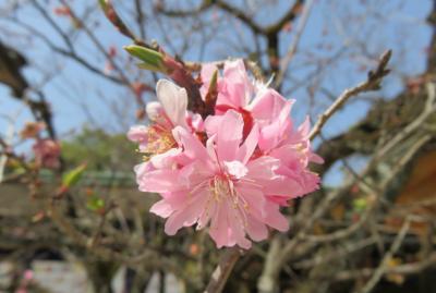 2018春、京都の神社巡り(2/15):3月31日(2):北野天満宮(2):天満宮扁額、狛犬、道真公所縁の飛梅、三光門、拝殿