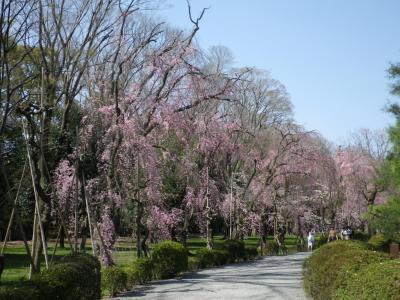 元離宮 二条城の桜を愛でる 2018