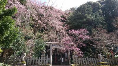 梅と桜を見に岡崎界隈を歩く