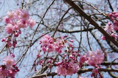 桜巡り 埼玉 2018春