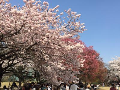 広島桜満開🌸