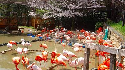 満開の桜を見に、王子動物園へ行きました その4完。