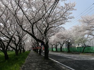 旧久喜市の桜スポットを巡る・・・6-6三列桜並木の清久さくら通りと清久工業団地周辺の桜