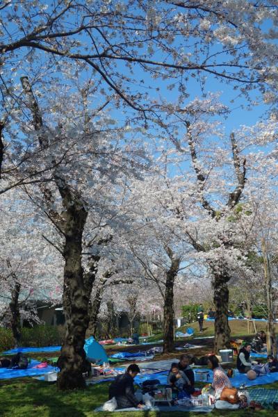 見頃前だろうが満開過ぎだろうがSundays only(泣) 都営まるごときっぷでお花見 by 東京さくらトラム at 飛鳥山公園