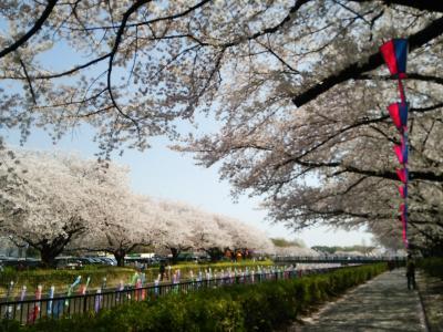 鶴生田川の鯉のぼり祭りと桜♪と分福茶釜!