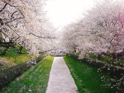 【桜2018】満開の桜を見に行く!@権現堂桜堤