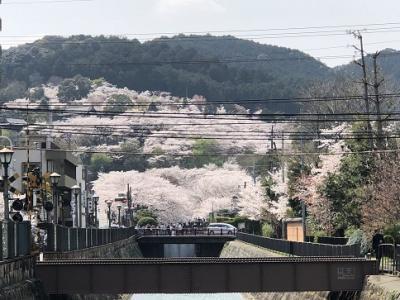 桜満開 大津 長等公園~三井寺~琵琶湖疎水を歩いてきました。