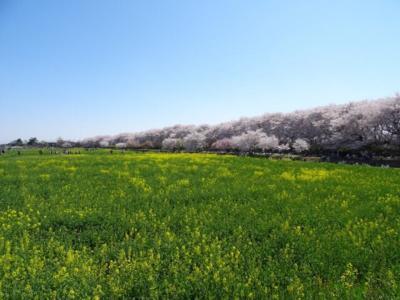 幸手権現堂堤の桜2018~菜の花の黄色と桜のピンクの見事なコントラスト~