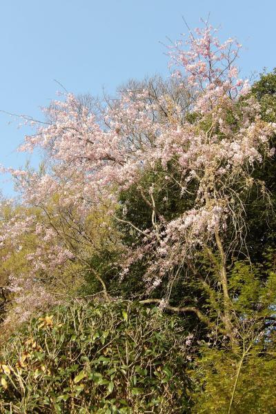 円覚寺横の枝垂れ桜