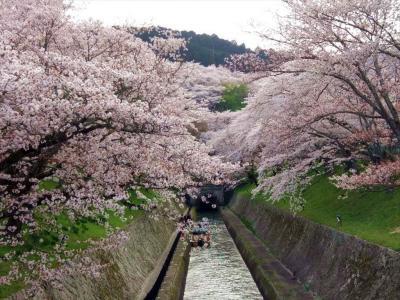 今年の桜はとっても早くて