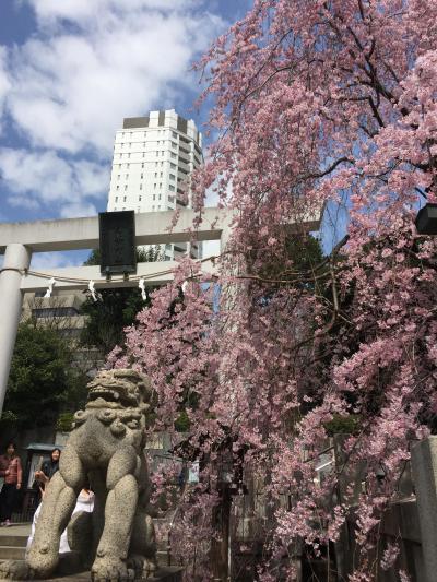 咲き急ぐ桜を追いかけて~六本木から青山霊園