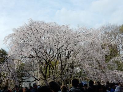 咲き急ぐ桜を追いかけて~六義園と小石川後楽園