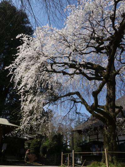 茂林寺のシダレザクラ_2018_2~3分咲きから、たった3日で満開です。(群馬県・館林市)