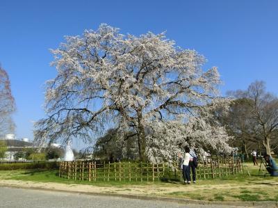 春の陽気に誘われて、大阪万博記念公園・自然文化園で桜ざんまいの一日を過ごす。(2018)