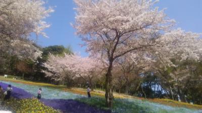 桜とチューリップとネモフィラと