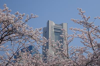 横浜 満開のさくら 掃部山公園、MM21、山下公園、横浜公園