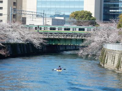 咲き急ぐ桜を追いかけて~目黒川パート2&3