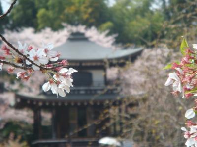 「そうだ、京都、行こう」勧修寺と醍醐寺の桜