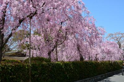 京都と滋賀の桜を撮りに行こう その四!2018年