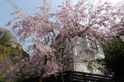 北鎌倉のお宅の枝垂れ桜