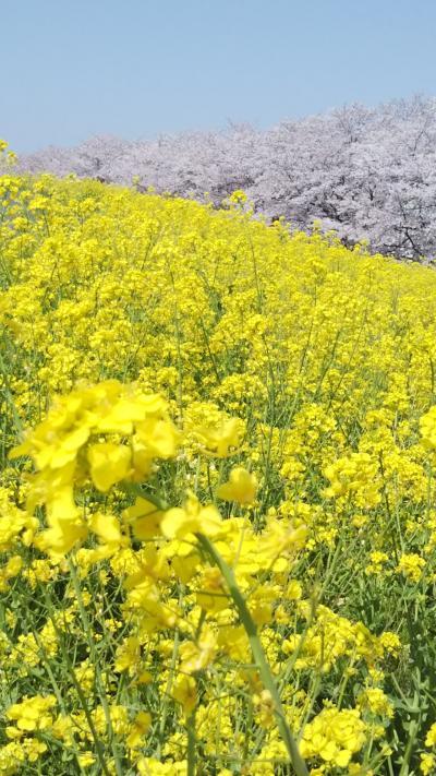 熊谷堤防でお花見