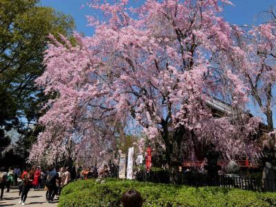 2018年 上野公園 桜満開。