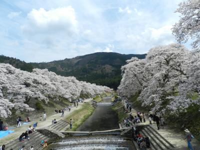 甲賀市土山町でお花見◆「青土ダム」&うぐい川沿いの「鮎河千本桜」