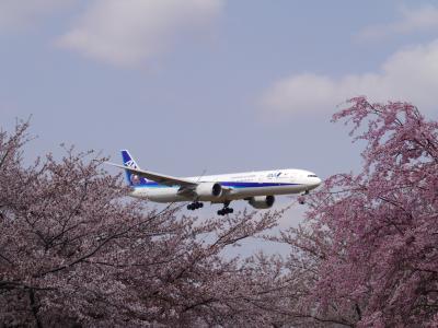 桜を求めて(第二弾)・・・近所のお花見(3月31日)と成田さくらの山公園(4月1日)!満開の桜と迫力満点の飛行機を楽しみました♪♪
