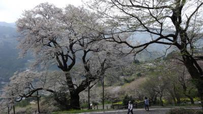 土佐のソラの集落の桜巡り