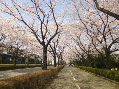 御伊勢塚公園の桜とか・・嫌(?)ってほど桜、桜・・?