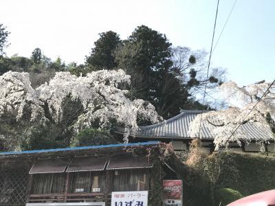 桜満開の有馬温泉へ