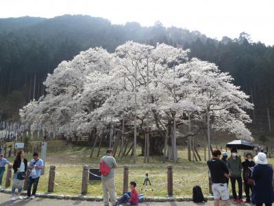 岐阜大垣・本巣のさくら・・日本三大桜の淡墨桜を樽見鉄道で訪ねます。