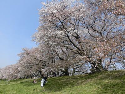 京都 桜花見旅行(円山公園・高台寺・背割堤・伏見稲荷大社等)