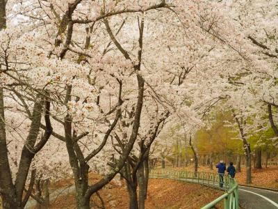 広島で圧巻の桜といえば