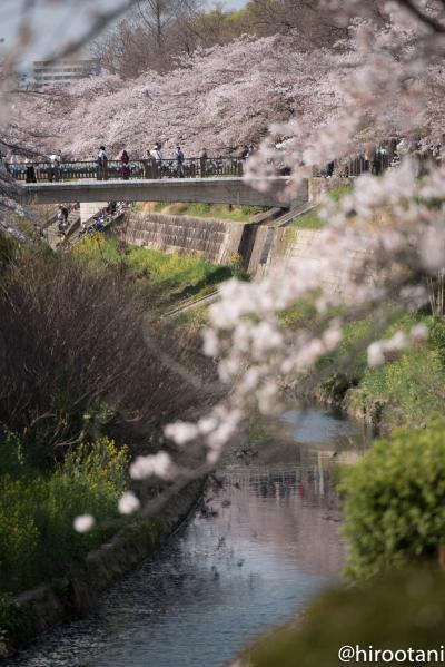 東海の桜 2018 【3】山崎川四季の道の桜