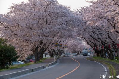 東海の桜 2018 【4】鍋田川堤桜並木