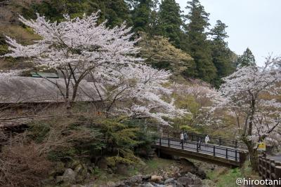 東海の桜 2018 【6】養老の滝