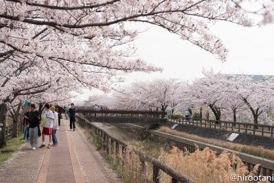 東海の桜 2018 【7】稲沢桜ネックレス