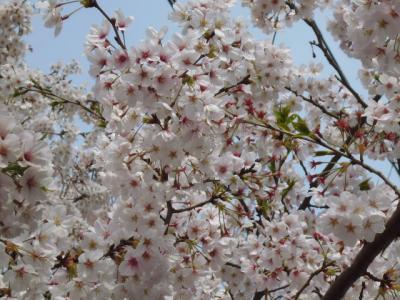 横須賀・走水水源地の桜