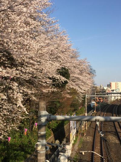 咲き急ぐ桜を追いかけて~飛鳥山公園