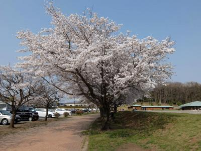桜花は何処に?思いついて 「うつのみや ろまんちっく村」へ車を走らせる