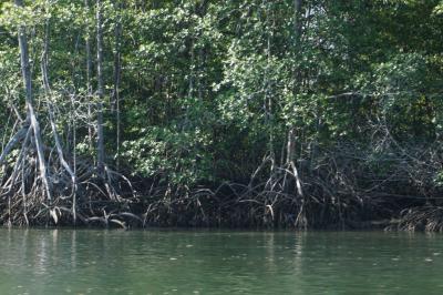 コルコバードからモンテベルデに移動。広大なマングローブ林を抜けてシエルペから北上途中にコンゴウインコの群れとクロコの群れと。