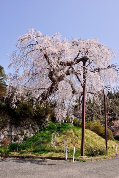 円光寺の枝垂れ桜2018