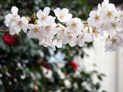 都内桜の隠れ名所(仙川、野川、砧公園他) 2018
