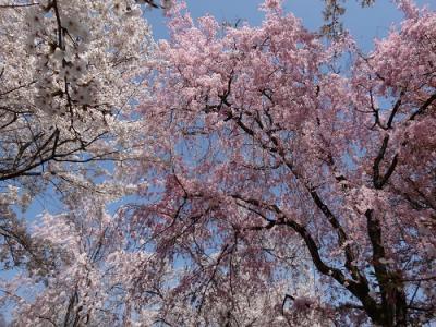 さくら満開♪ 平野神社