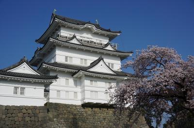 小田原城お花見 満開!