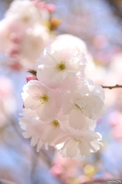 桜が長~く楽しめる新宿御苑、八重桜の見頃はこれからです