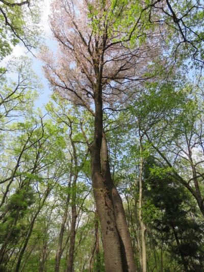 川越市の森のさんぽ道を散策する・・美しい新緑とヤマザクラの風景を求めて