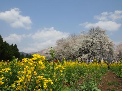 義母を連れて、一心行の大桜と、大観峰からの、久住、湯布院とドライブ旅行